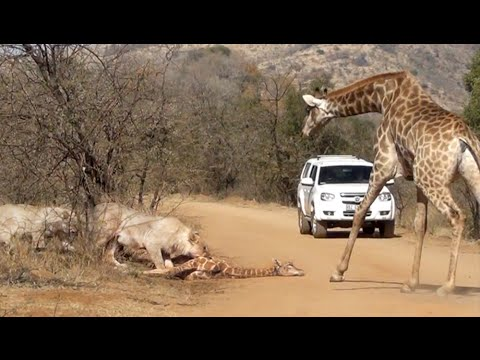 Giraffe Tries Saving her Calf From Hunting Lions (видео)