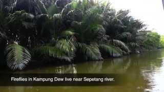 Kampung Lubok Buaya Malaysia  city pictures gallery : Jeti Kelip-kelip (Firefly), Kampung Dew | Perak, Malaysia | AYVP2013