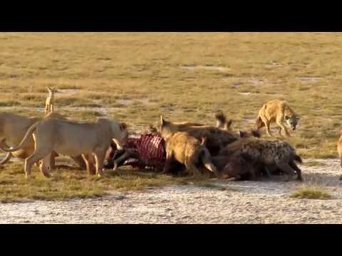 Lions VS Hyena's