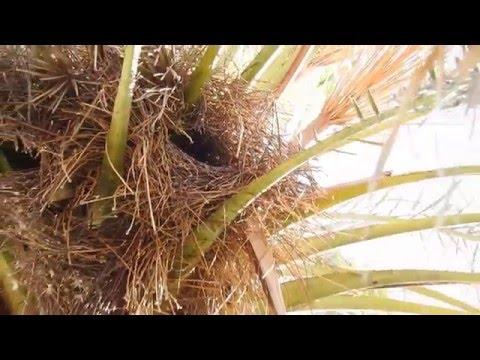 Mönchssitiche - Grüne Papageien - Costa de Sol