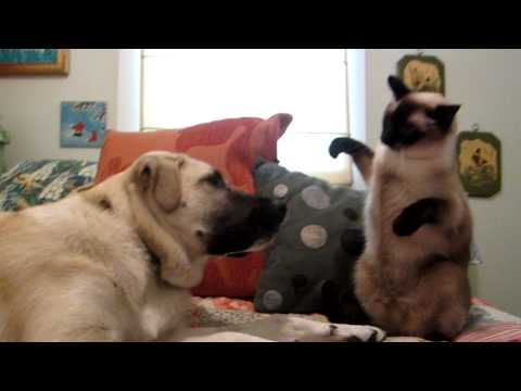 Cats and Dogs - Our Anatolian Shepherd versus our Siamese Cat. Oh the joys of pet ownership.