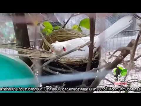 นกหัวจุก - ฟาร์มนกกรงหัวจุกแฟนซี PST.Farm 089-856-2724 , 081-962-6951 ติดตามรายการคนรักนก[ไทยแลนด์] ทาง CAT Channel ทุกวันอาทิตย์...