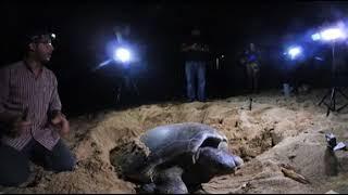 Tortuga verde (Chenolia mydas) Bautizada como Mabí. Video 360