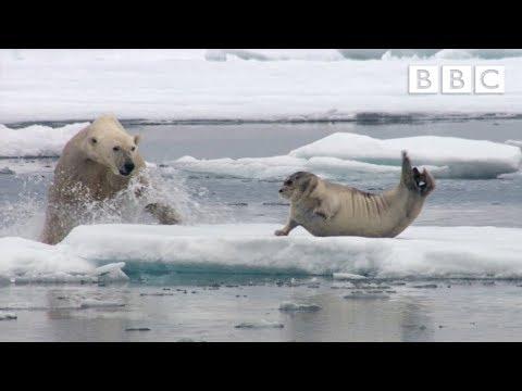 Starving polar bear pounces on a seal | The Hunt - BBC