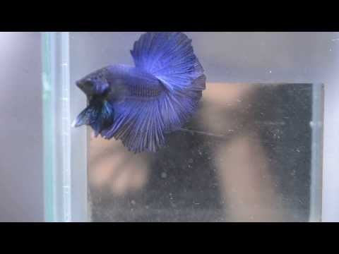 Royal Blue Halfmoon Betta