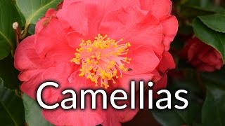 In this video Mike talks about why you should be planting Camellias in your garden.Visit http://www.glebegardencentre.co.uk for more information about Glebe Garden CentreLike us on Facebook - http://www.facebook.com/glebegcFollow us on Twitter - http://www.twitter.com/glebegc+1 us on Google - https://plus.google.com/b/103817263936258828598/+GlebeGardenCentre