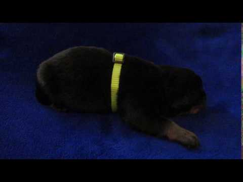 German Rottweiler Male Pup