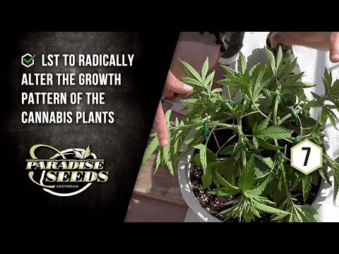 PARADISE SEEDS SKUNK WORKS PROJECT EP#7: LST FOR 8 MAINLINES