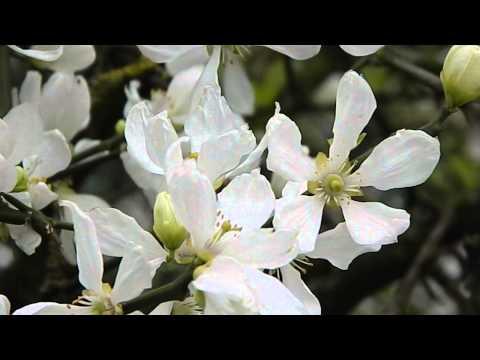 poncirus trifoliata – caratteristiche