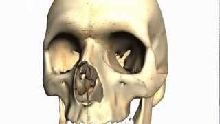 Skull Tutorial (2) - Bones Of The Facial Skeleton - Anatomy Tutorial PART 1