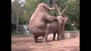 Elefante fazendo Oba -Oba