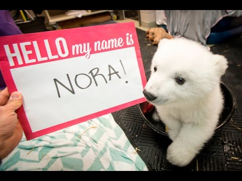 BABY POLAR BEAR gets her name...