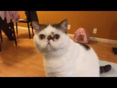 Funny cat video - Exotic shorthair cat reaction to tape sound with gag reflex