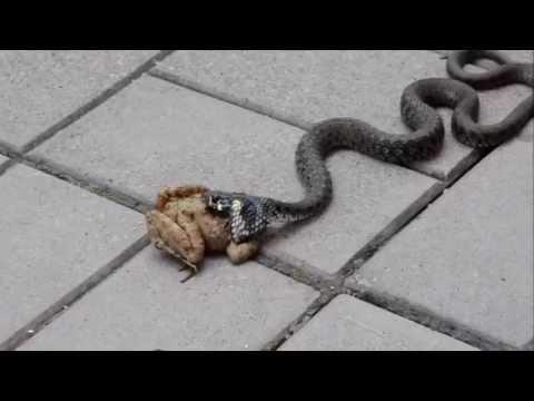 Zmija pokušava da pojede žabu