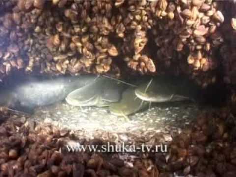 подводные съемки ловли толстолобика