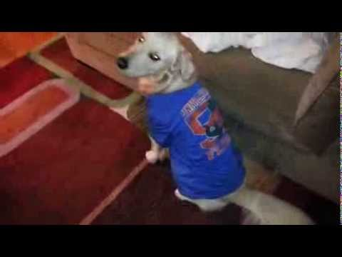 super cute golden retriever puppy