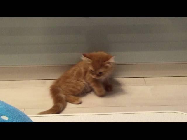 しっぽを追いかけグルグル回る子猫