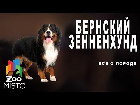 Бернский зенненхунд - Все о породе собаки