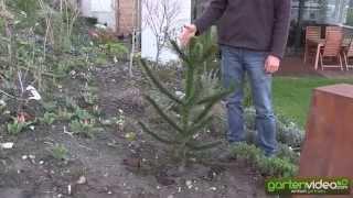 Die Araukarie im eigenen Garten