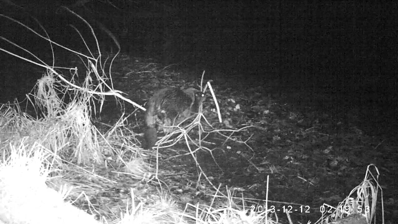 Beavers on camera trap