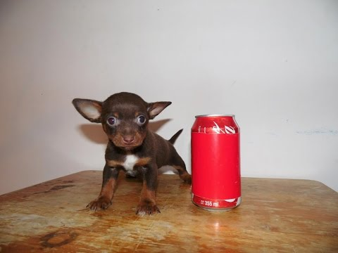 Chihuahua Hembra Chocolate en Venta – Bolsillo, Teacup, Mini Toy, Tacita