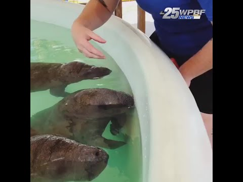 manatees being bottle fed