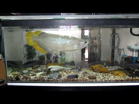 Yellow tailed arowana eat chicken and prawn meat