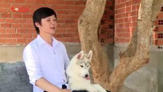 Kỳ 5: Kiến thức cơ bản về dòng chó Husky Siberian - Thú Cưng TV