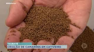 Produtores investem na criação de camarões em cativeiro