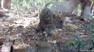 Meet Neel, The Orphaned Leopard Cub!
