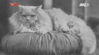 Kỳ 2: Giới thiệu về giống mèo Ba Tư - Thú Cưng TV
