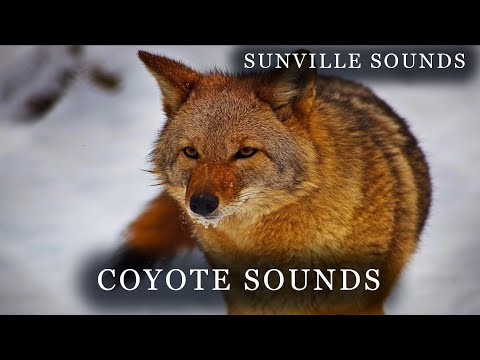 1 Hour Of Coyote Sounds