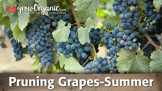How to Prune Grapes—Summer