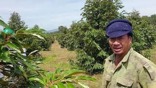 Hơn 2.100 cây sầu riêng ở Sa Thầy, Kon Tum bị hạn nặng 3 tháng mà giờ đẹp quá