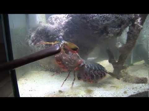 Can a Huge Mantis shrimp crack  a glass aquarium