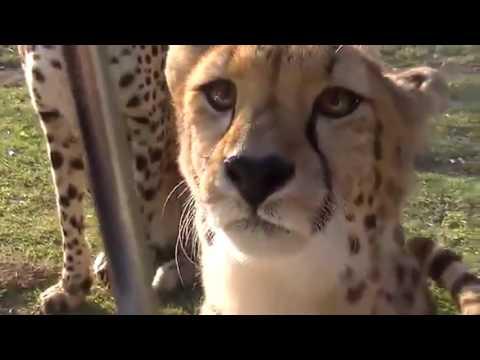Meowing cheetahs