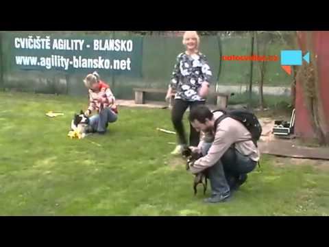Karambol psů při coursingu