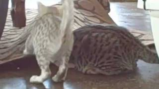 F1 SAVANNAH KITTENS LARGEST CAT BREED OF SAVANNAH CATS IN THE WORLD