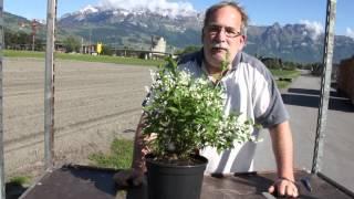 #656 Der Sternchenstrauch - Deutzia gracilis