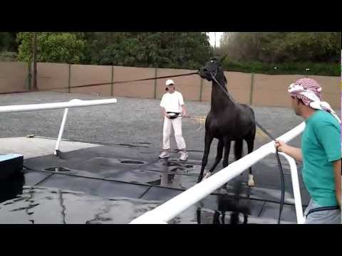 Arabian Horses swimming in the Horse Swimming Pool, Sharjah Equestrian Club, UAE