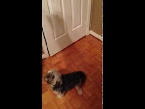 Funny the most brilliant dog open a door