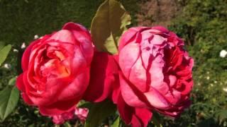 #969 Benjamin Britten - eine Englische Rose die nicht ganz genügt