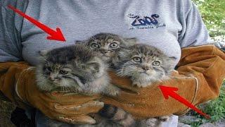 Download Video Pria ini Temukan Kucing Liar, Dikira Kucing Biasa.. Namun Ketika Besar Ternyata Kucing ini Makan... MP3 3GP MP4
