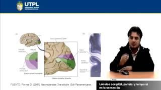 UTPL LÓBULO OCCIPITAL PARIETAL Y TEMPORAL EN LA SENSACIÓN [(PSICOLOGÍA)(NEUROPSICOLOGÍA)]