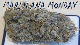 King Tut Marijuana Monday by Urban Grower