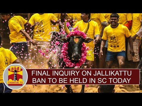 Final-Inquiry-on-Jallikattu-ban-to-be-held-in-SC-today-Thanthi-TV