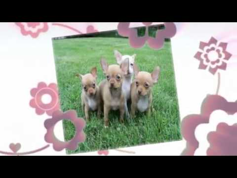 Chihuahua temperament   Chihuahua training tips
