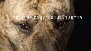 Macho Grande in Northern California has some beautiful, bold, and big Presa Canarios aka Dogo Canario. Arthur sits with Dogumentary and runs us through his ...