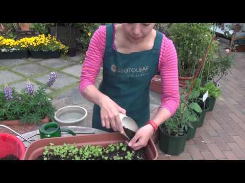 小カブの育て方・日常管理 その3 間引き・土寄せ・追肥
