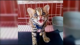 Download Video Menjinakkan Kucing Hutan super galak || Blacan Asian leopard cat MP3 3GP MP4